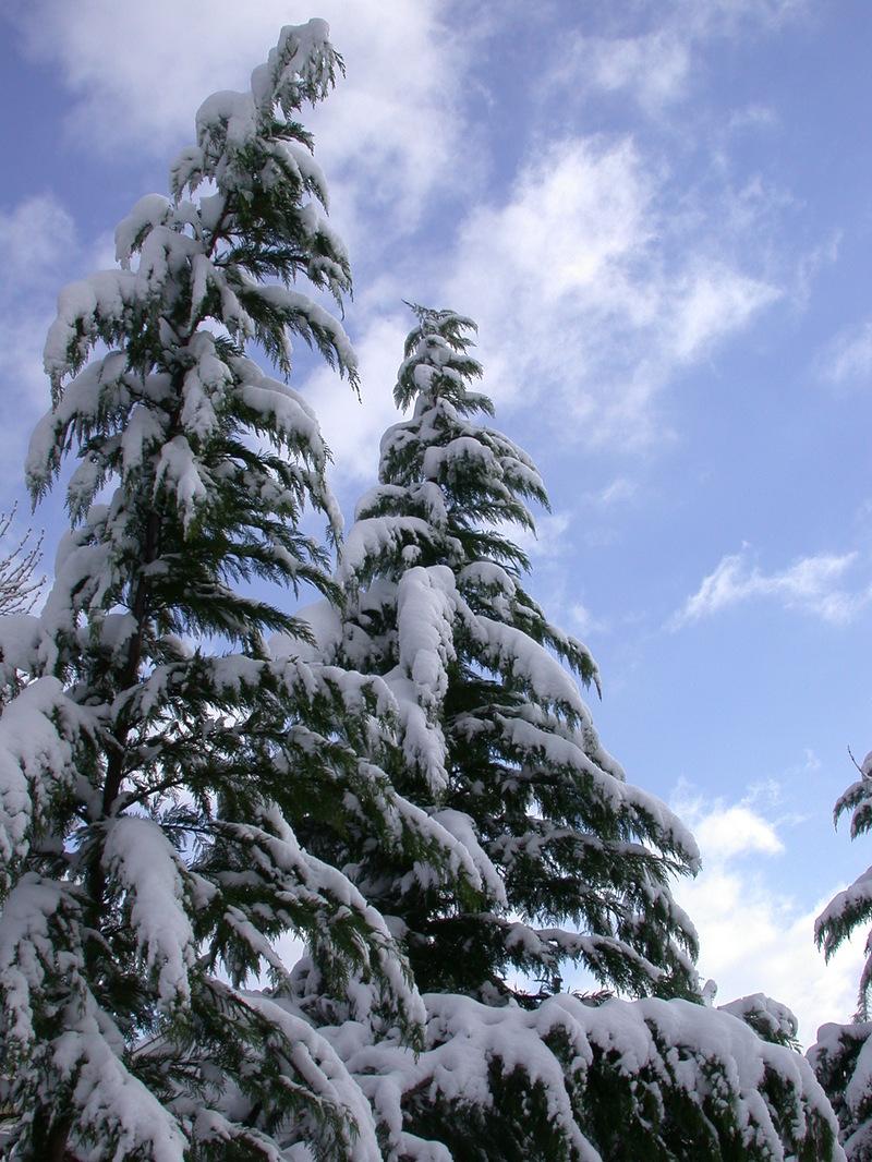 Snow_on_evergreens